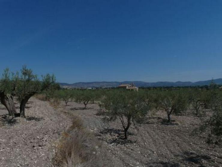 Großes Grundstück mit mehr als 700 Olivenbäumen