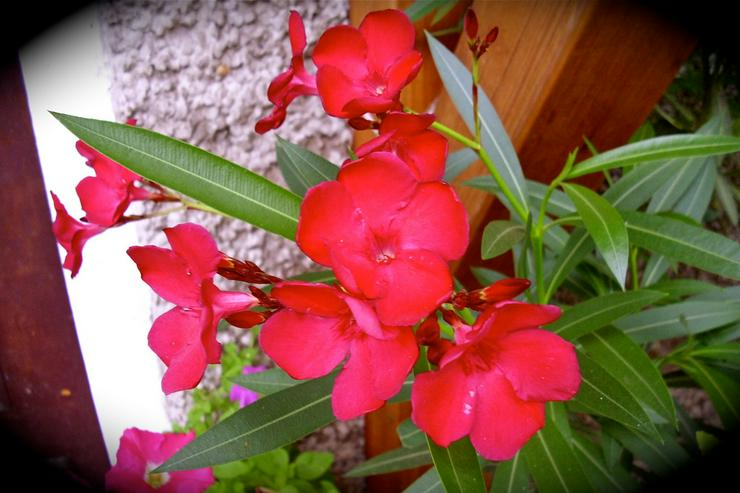 Oleander weiß und rot
