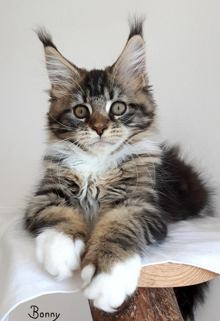 Maine Coon Kitten Träume