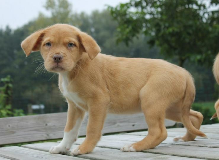 Bild 2: Mix Australian Shepherd x Bordeauxdog Welpen