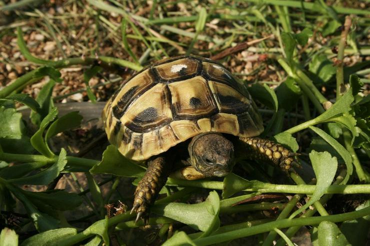 Bild 2: Griechische Landschildkröten (Thb.)