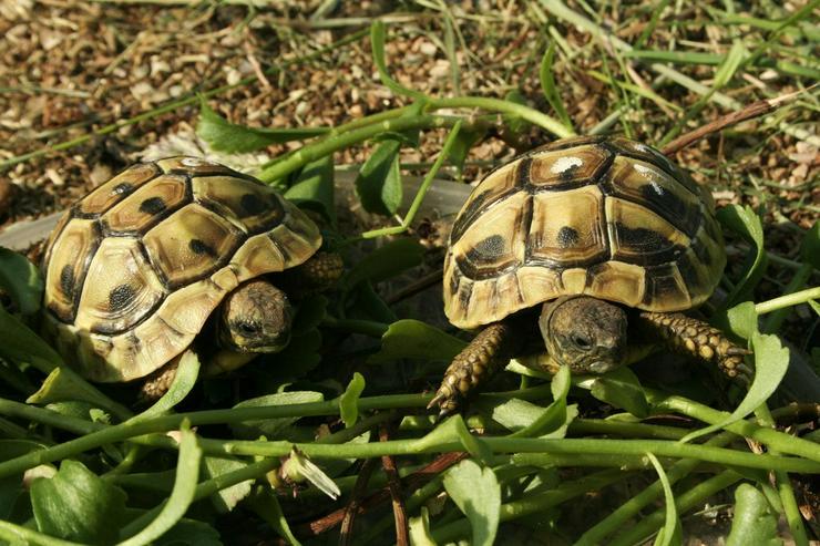 Bild 3: Griechische Landschildkröten (Thb.)