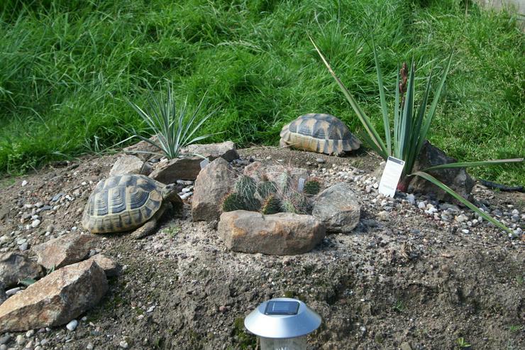 Bild 4: Griechische Landschildkröten (Thb.)