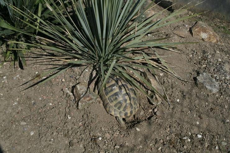Bild 5: Griechische Landschildkröten (Thb.)