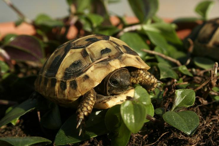 Griechische Landschildkröten (Thb.)