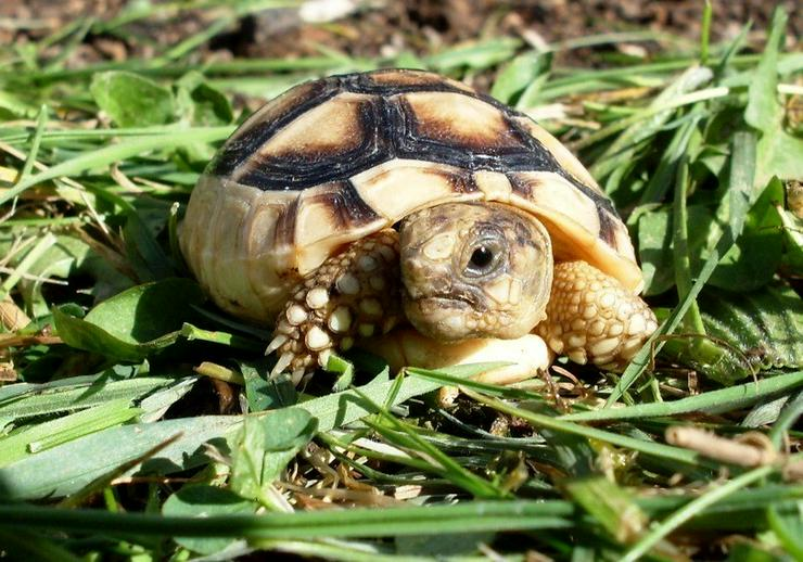 Breitrandschildkröten (Testudo marginata), Lann