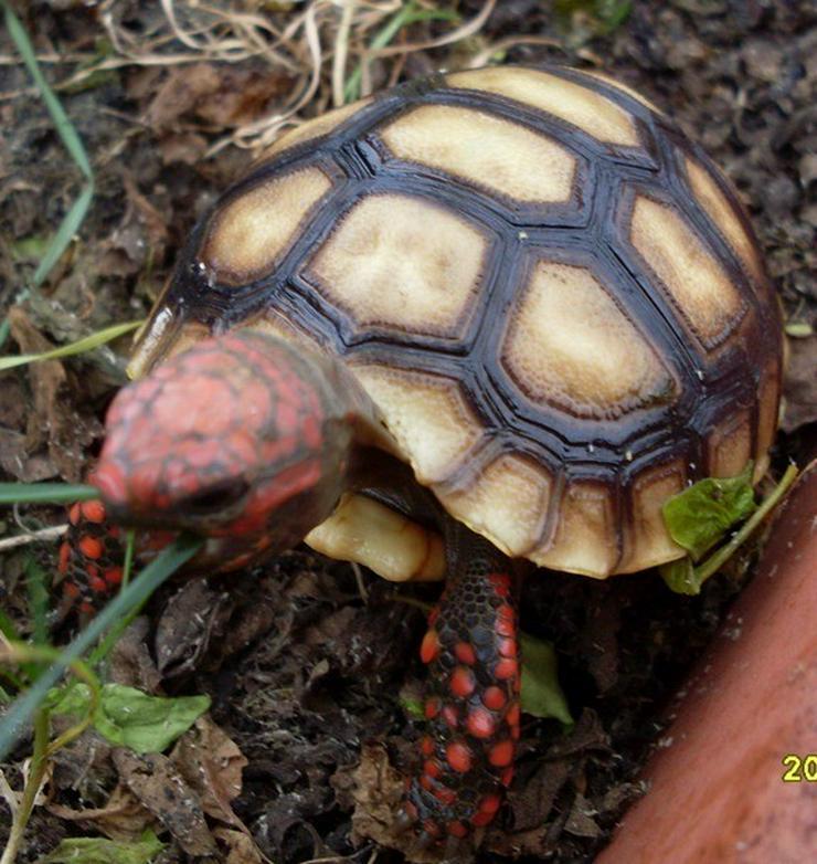 Köhlerschildkröten, rote Form, Cherry head.