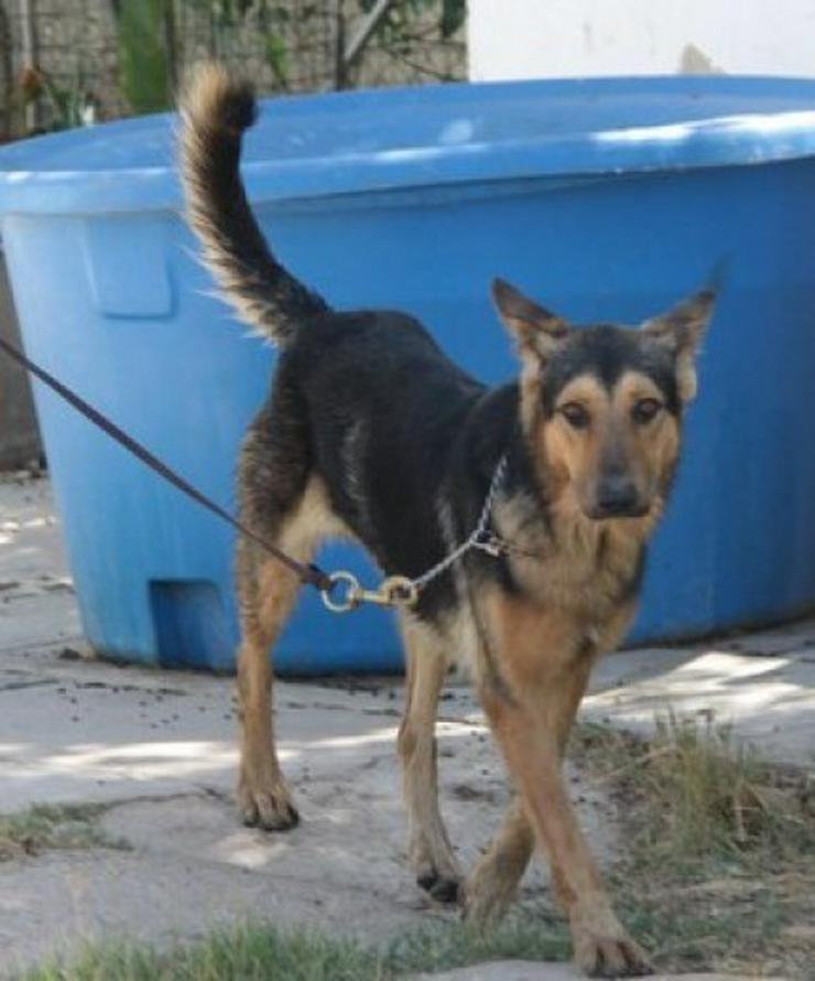 Rex, Tierschutzhund aus Spanien - Mischlingshunde - Bild 1
