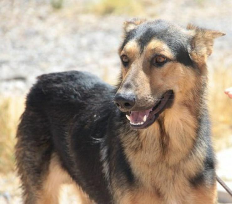 Bild 4: Rex, Tierschutzhund aus Spanien