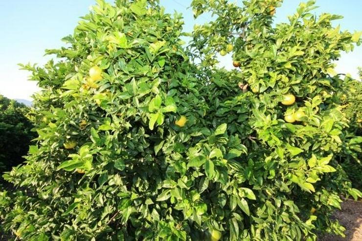 Bild 2: Typisch, spanische Finca mit Orangenplantage, 3 Schlafzimmer, 2 Bäder, Keller, Brunnen, e...
