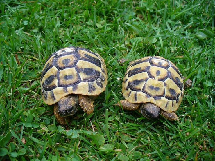 Nachzuchten Griech. Landschildkröten THB 2018