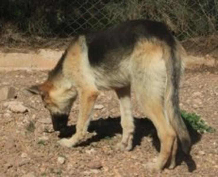 Bild 4: Yasmin, Tierschutzhund aus Spanien