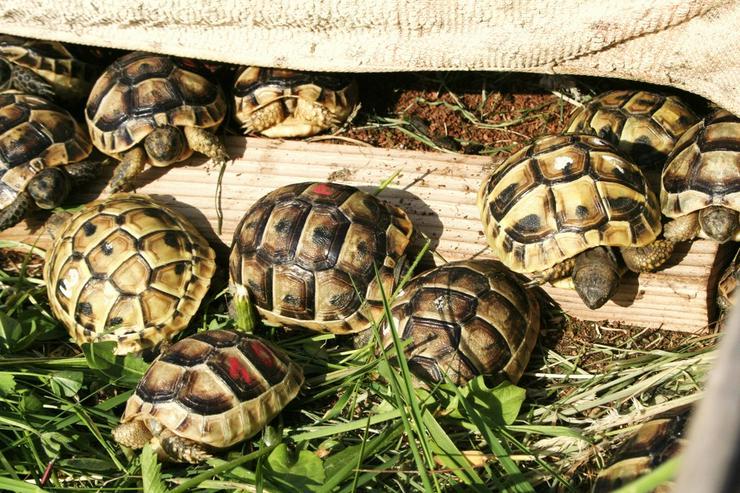 Europäische Landschildkröten, Thb, Thh, Tgi,Tm.