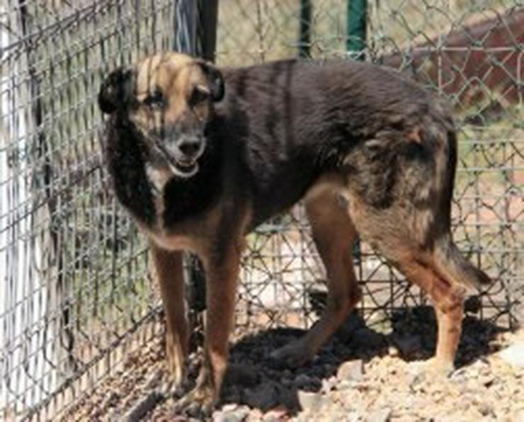 Bild 4: Dunia, Tierschutzhund aus Spanien