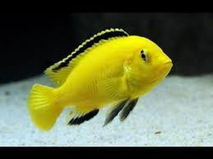 Labidochromis caeruleus yellow abzugeben