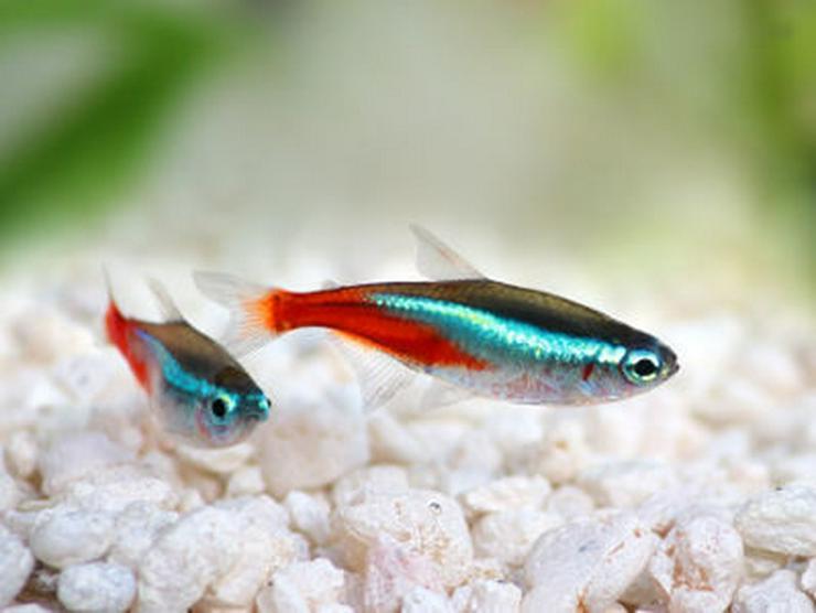 Suche kostenlose Aquariumfische und Pflanzen - Fische - Bild 1