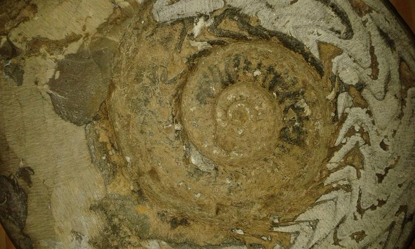 Bild 3: Schöner großer Ammonit 26 cm