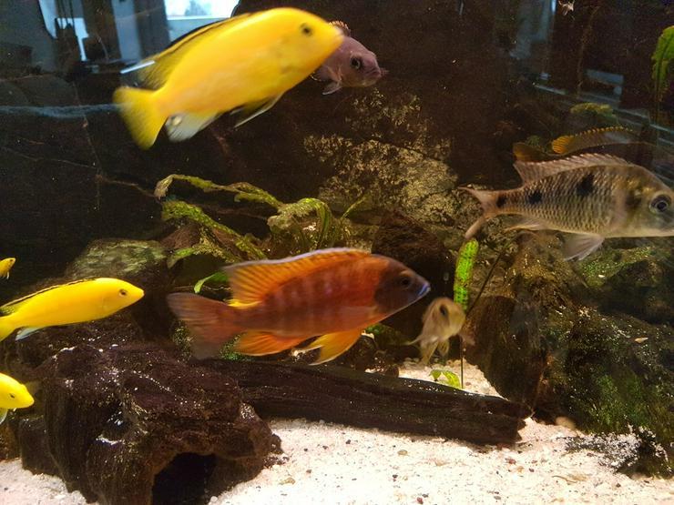 Buntbarsche aus dem Malawisee - Fische - Bild 1