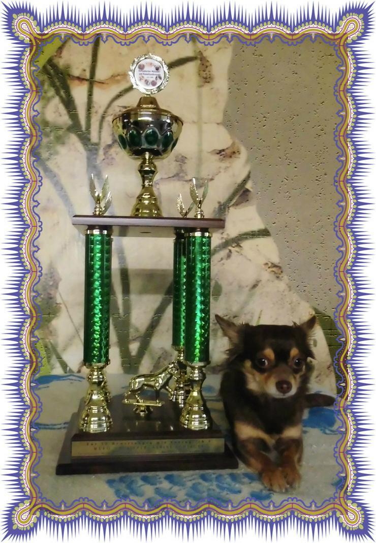 Bild 2: Chihuahua Deckrüde