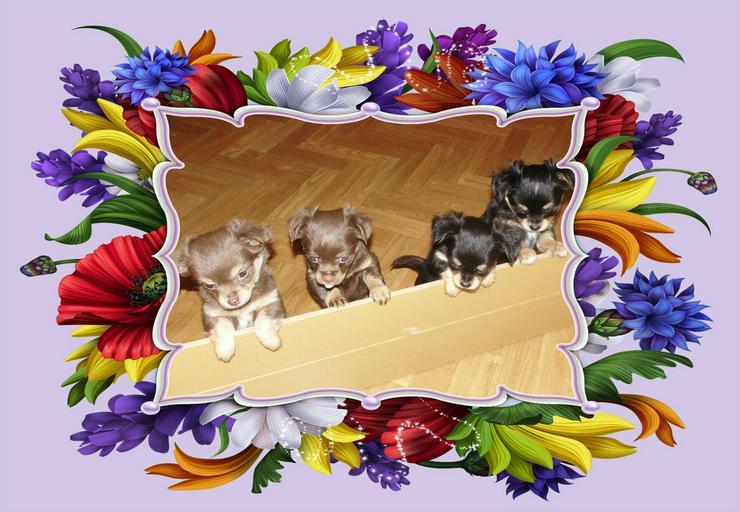 Bild 3: Chihuahua Deckrüde