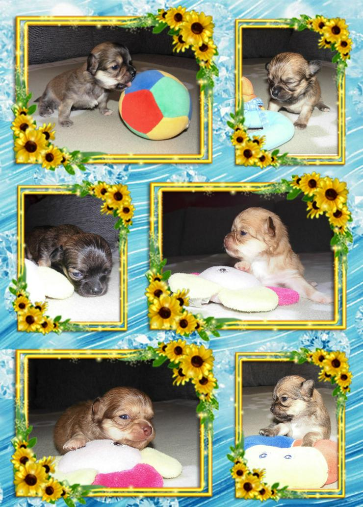Bild 4: Chihuahua Deckrüde