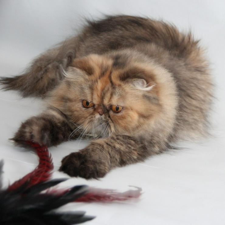 Reinrassige perser Katze, kastriert