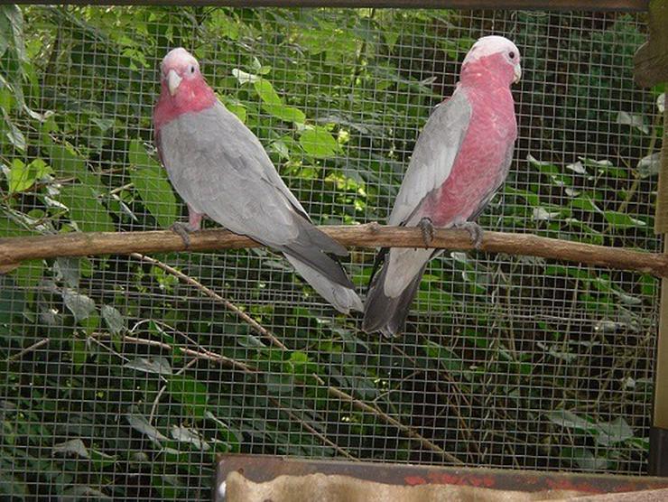 Rosakakadus - Papageien - Bild 1