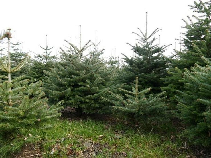 Bild 5: Die Tannen warten auf Weihnachten, das Grundstück auf Bebauung - von Schlapp Immobilien