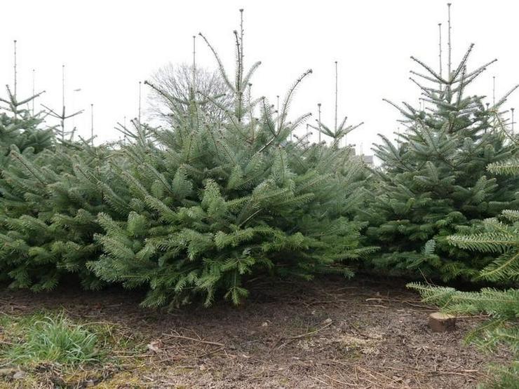 Bild 6: Die Tannen warten auf Weihnachten, das Grundstück auf Bebauung - von Schlapp Immobilien