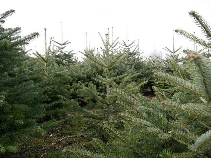 Bild 3: Die Tannen warten auf Weihnachten, das Grundstück auf Bebauung - von Schlapp Immobilien