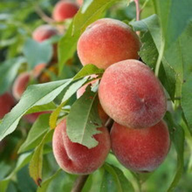 Obstbäume Apfel Birne Kirsche Aprikose Pflaume - Pflanzen - Bild 1