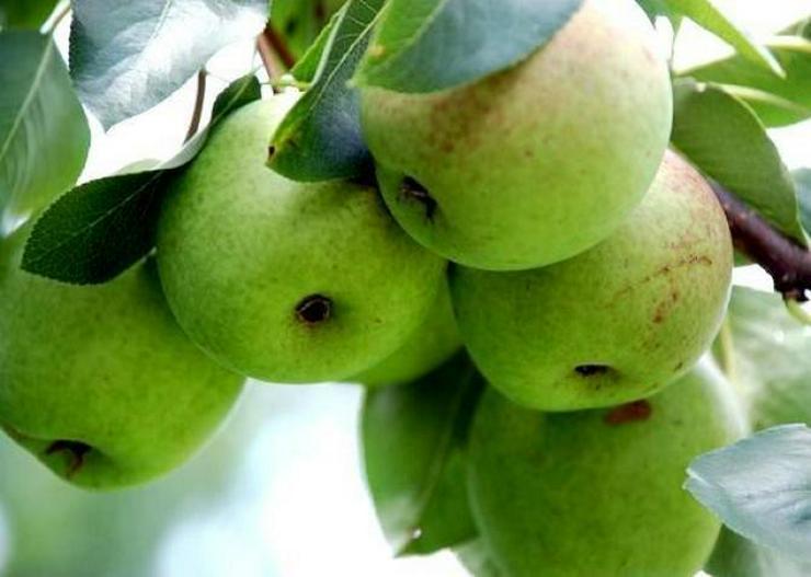 Bild 11: Obstbäume Apfel Birne Kirsche Aprikose Pflaume