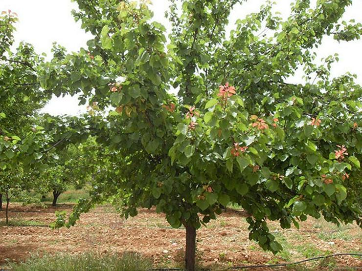 Bild 12: Obstbäume Apfel Birne Kirsche Aprikose Pflaume