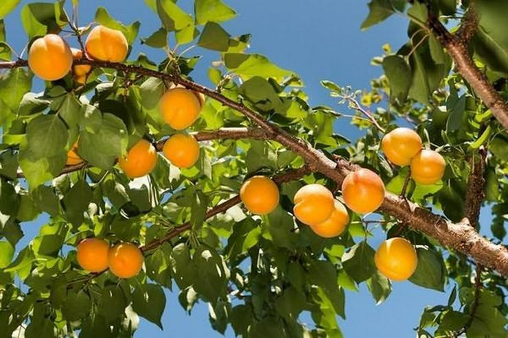 Bild 13: Obstbäume Apfel Birne Kirsche Aprikose Pflaume