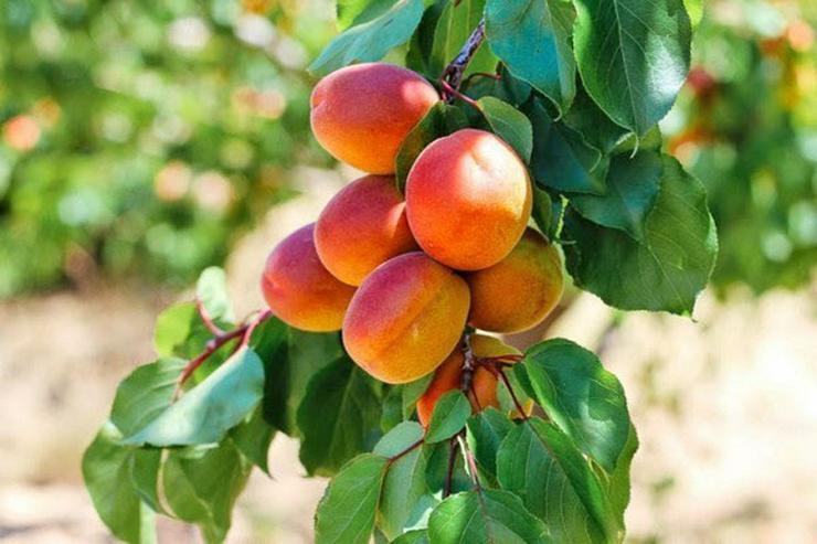 Bild 14: Obstbäume Apfel Birne Kirsche Aprikose Pflaume