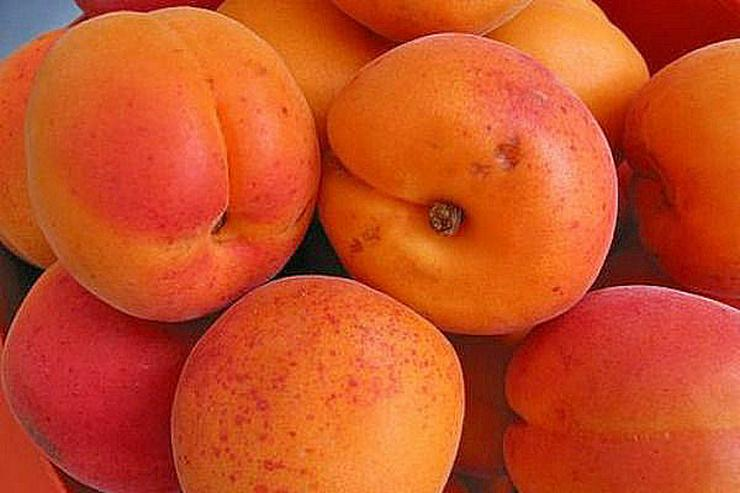 Bild 15: Obstbäume Apfel Birne Kirsche Aprikose Pflaume