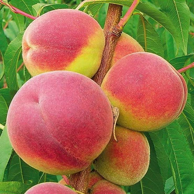 Bild 2: Obstbäume Apfel Birne Kirsche Aprikose Pflaume