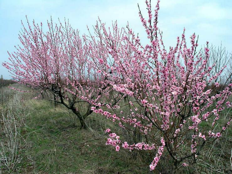 Bild 3: Obstbäume Apfel Birne Kirsche Aprikose Pflaume