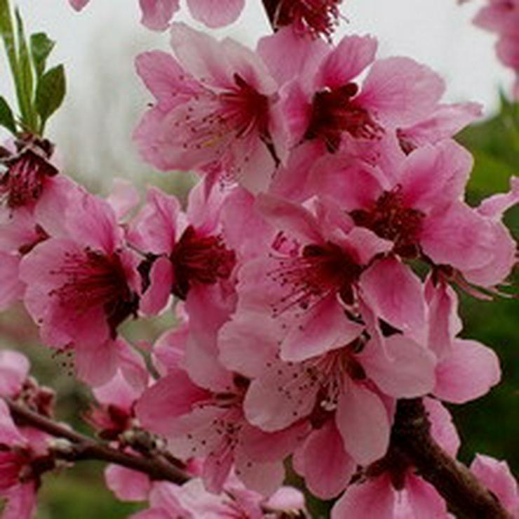 Bild 4: Obstbäume Apfel Birne Kirsche Aprikose Pflaume