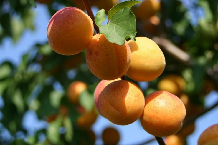 Bild 5: Obstbäume Apfel Birne Kirsche Aprikose Pflaume