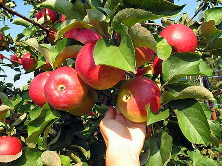 Bild 6: Obstbäume Apfel Birne Kirsche Aprikose Pflaume