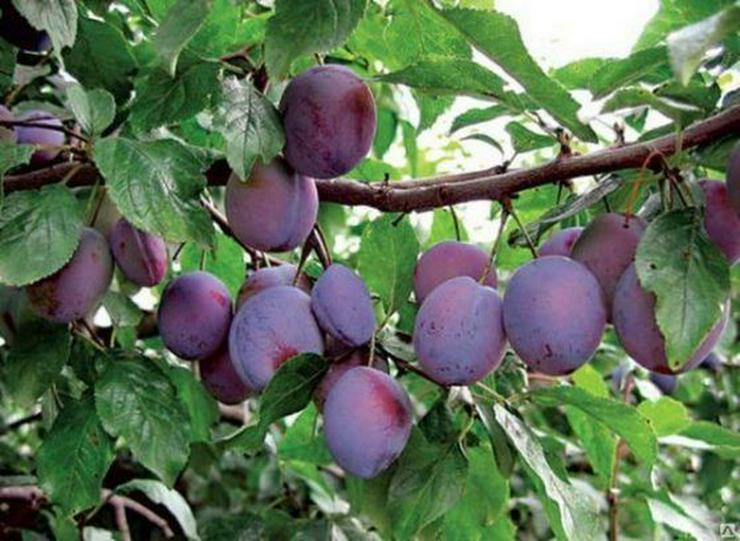 Bild 7: Obstbäume Apfel Birne Kirsche Aprikose Pflaume