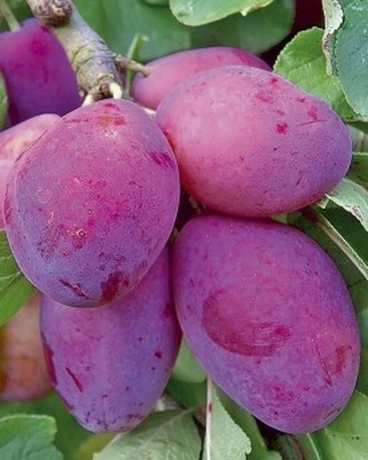 Bild 8: Obstbäume Apfel Birne Kirsche Aprikose Pflaume