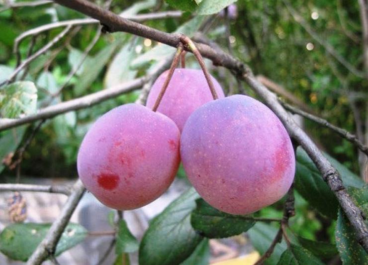 Bild 10: Obstbäume Apfel Birne Kirsche Aprikose Pflaume