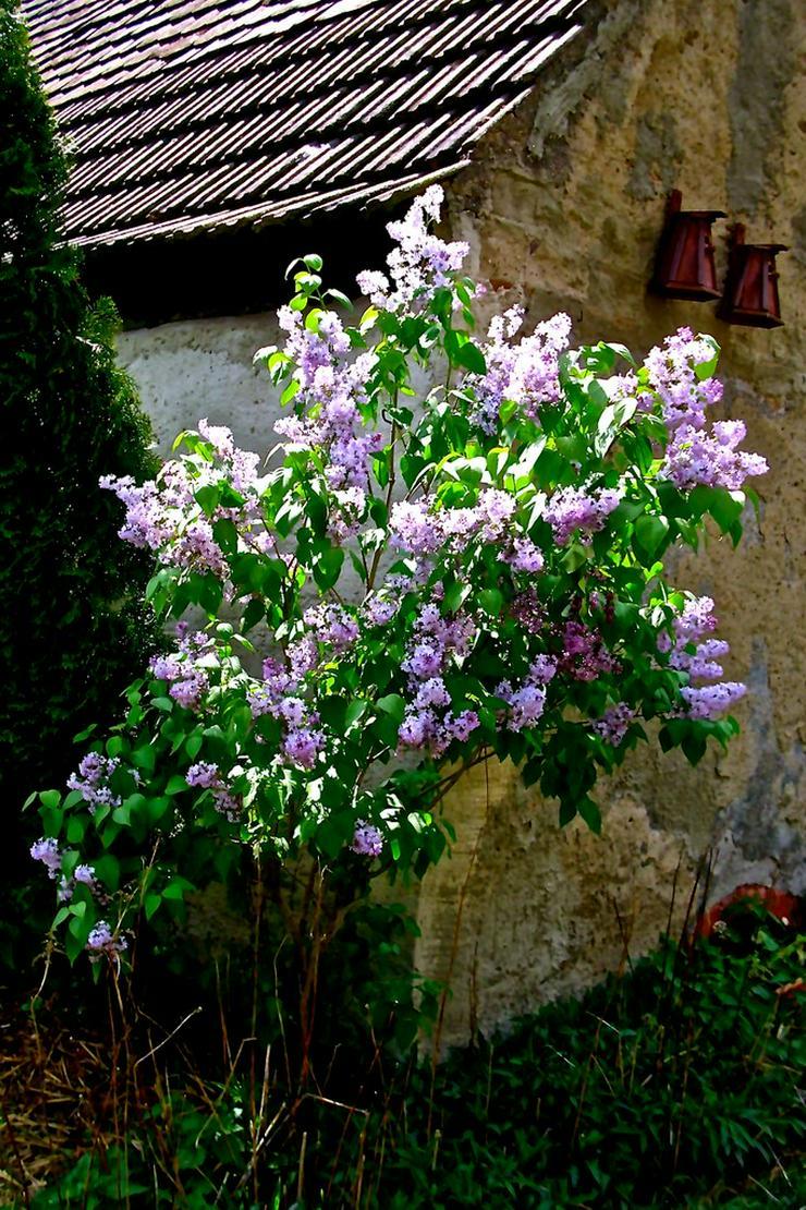 Flieder (hellliela) - Syringa-vulgaris