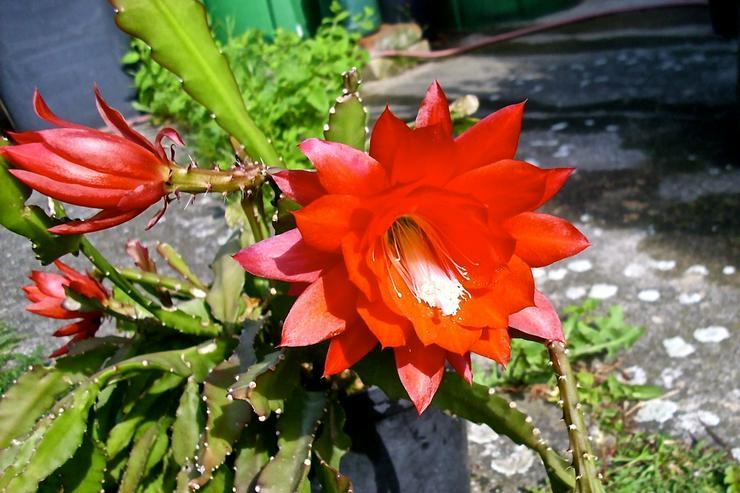 Disocactus ackermannii, Rot-blühend