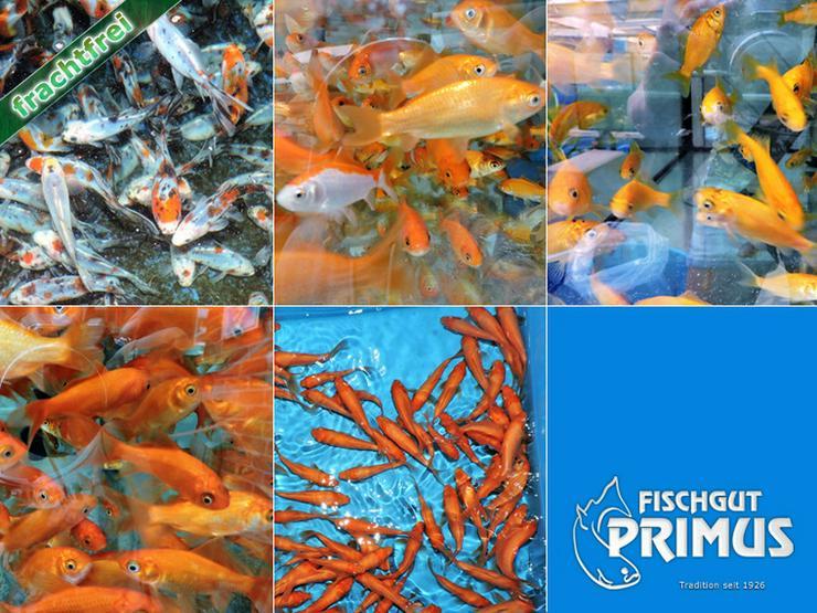 Goldfischpaket Größe 5-12 cm - Bild 1