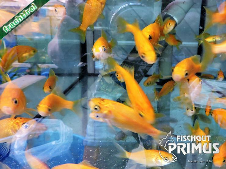 Bild 4: Goldfischpaket Größe 5-12 cm