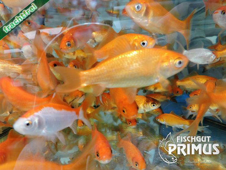 Bild 3: Goldfischpaket Größe 5-12 cm