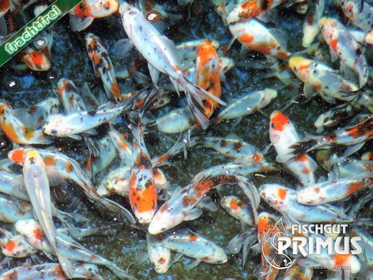 Bild 2: Goldfischpaket Größe 5-12 cm